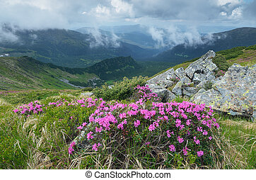 montagnes, fleurir, rhododendron, arbrisseau