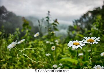 montagnes, fleurs blanches, pré, pâquerettes