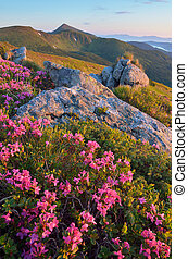 montagnes, rhododendron, fleurir
