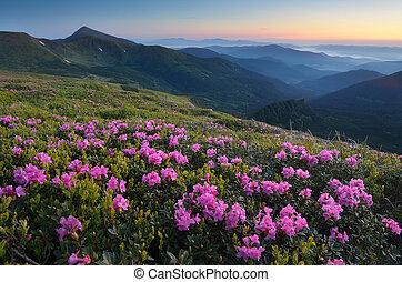 montagnes, rhododendron, pré, fleurir