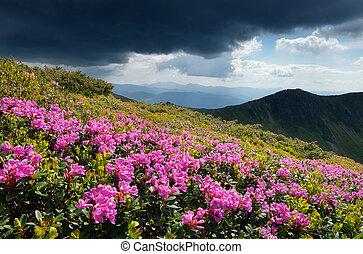 montagnes, rhododendrons, clairière, fleurir