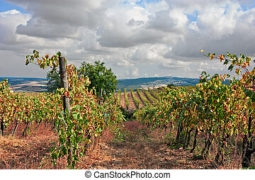 Montalcino, Siena, Tuscany, Italy: landscape of the vineyard...