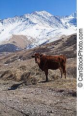 montanha azul, spring., vaca, sky., cedo, fundo, pasto