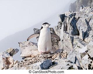 montanha, pygoscelis, antarcticus, spigot, pingüim, península, arctowski, antártica, chinstrap, pico, antárctico, topo