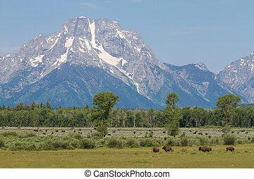 montanhas, céu azul, bisonte, rebanho