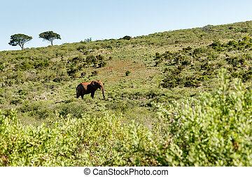 montant, buisson, marche, éléphant