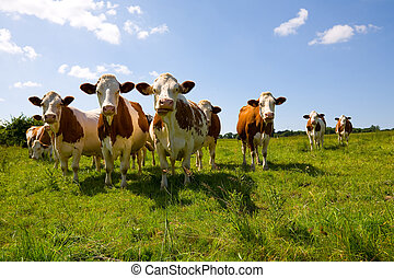Montbeliarde cows in the pasture