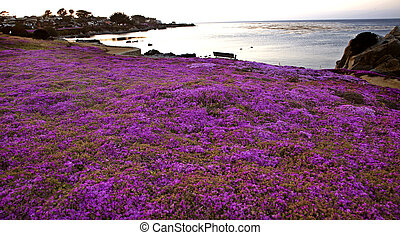 Monterey Coast California pink flowers rugged northern