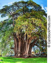 Montezuma cypress Tree of Tule, Mexico