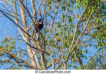 Montezuma oropendola (Psarocolius montezuma) on a tree, National Park Tikal, Guatema