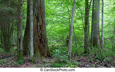 Monumental oak trees of Bialowieza Forest deciduous stand in...