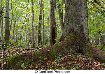 Monumental old spruce against deciduous background in autumnal stand of Bialowieza Forest