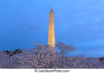monumento washington, notte, durante, fiore ciliegia, usa.