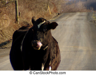 Moo Cow - A moo cow stood in the road, blocking our path....