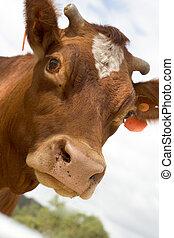 Moo - Cow head closeup
