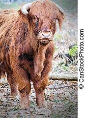 Moo - Highland cow