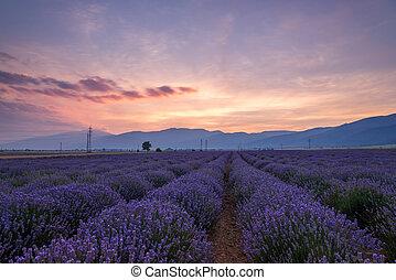 mooi, akker, beeld, fields., lavendel