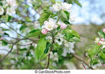 mooi, appel, natuur, blossom , lente, boompje