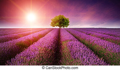 mooi, beeld, van, lavendelgebied, zomer, ondergaande zon ,...