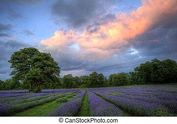 mooi, beeld, van, verbazend, ondergaande zon , met, atmosferisch, wolken, en, hemel, op, vibrant, rijp, lavendel, velden, in, engels platteland, landscape