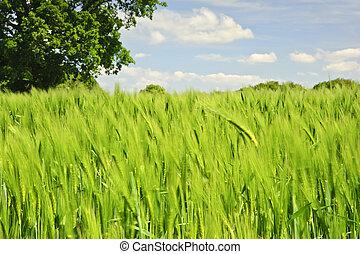 mooi, blauwe , levendig, boompje, beeld, eik, akker, enkel, achtergrond, groeiende, landbouwkundig, koren, hemel