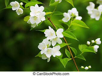 mooi, bloeien, tak, van, jasmijn