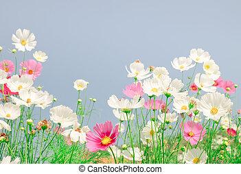 mooi, bloem, toon, ouderwetse , akker, kosmos
