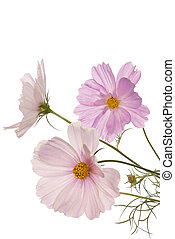 mooi, bloemen, op wit, achtergrond