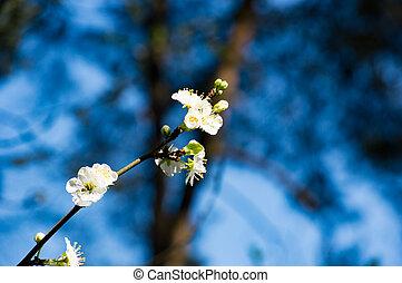 mooi, blossom , witte , tak