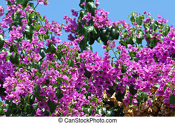 mooi, bougainvillea, bloemen
