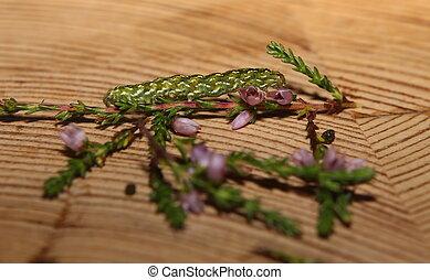 mooi, (calluna, dophei, myrtilli), vulgaris), gele, (anarta...