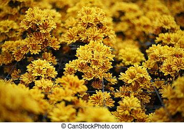 mooi, chrysant, bloem, bloeien