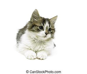 mooi, close-up, pluizig, vrijstaand, achtergrond, katje, witte