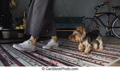mooi, concept, lood, feet., aanhalen, yorkshire, gymschoen, richel, witte , honden, meisje, vrouw, beauty, terrier, dog., grijs, looppas, kamer, well-groomed, kleine, care., rokjes