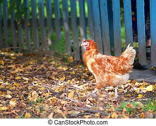 mooi, foto, chicken, sinaasappel