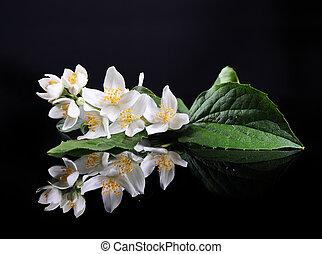 mooi, fris, jasmijn, bloem, en, reflectie, op, black