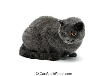 mooi, grijs, close-up, kat, achtergrond, witte