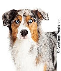 mooi, herdershond, australiër, dog, headshot