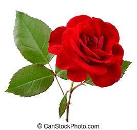 mooi, het rood nam toe, met, bladeren, op wit, achtergrond