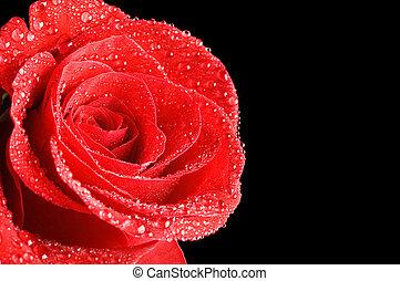 mooi, het rood nam toe, op, een, zwarte achtergrond