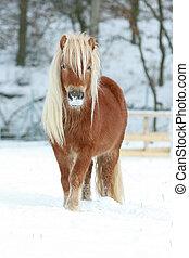 mooi, kastanje, pony, winter, lang, manen
