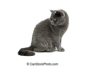 mooi, kat, achtergrond, close-up., witte , zit