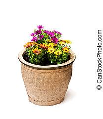 mooi, kleurrijke, madeliefje, bloemen, in, groot, pot, verfraaide, met, sackcloth, vrijstaand, op wit