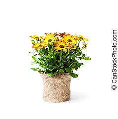 mooi, kleurrijke, madeliefje, bloemen, in, kleine, pot, verfraaide, met, sackcloth, vrijstaand, op wit