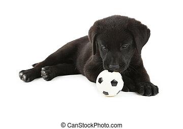 mooi, labrador, vrijstaand, black , witte , puppy