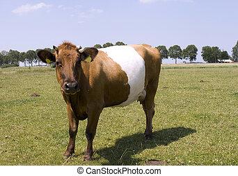 mooi, lakenvelder, koe