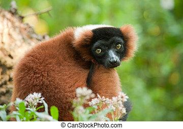 mooi, lemur, rood, ruffed