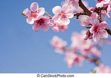 mooi, lentebloemen, met, duidelijk, blauwe , sky.
