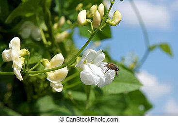 mooi, loper, plant, bloemen, boon