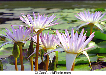 mooi, lotus, achtergrond